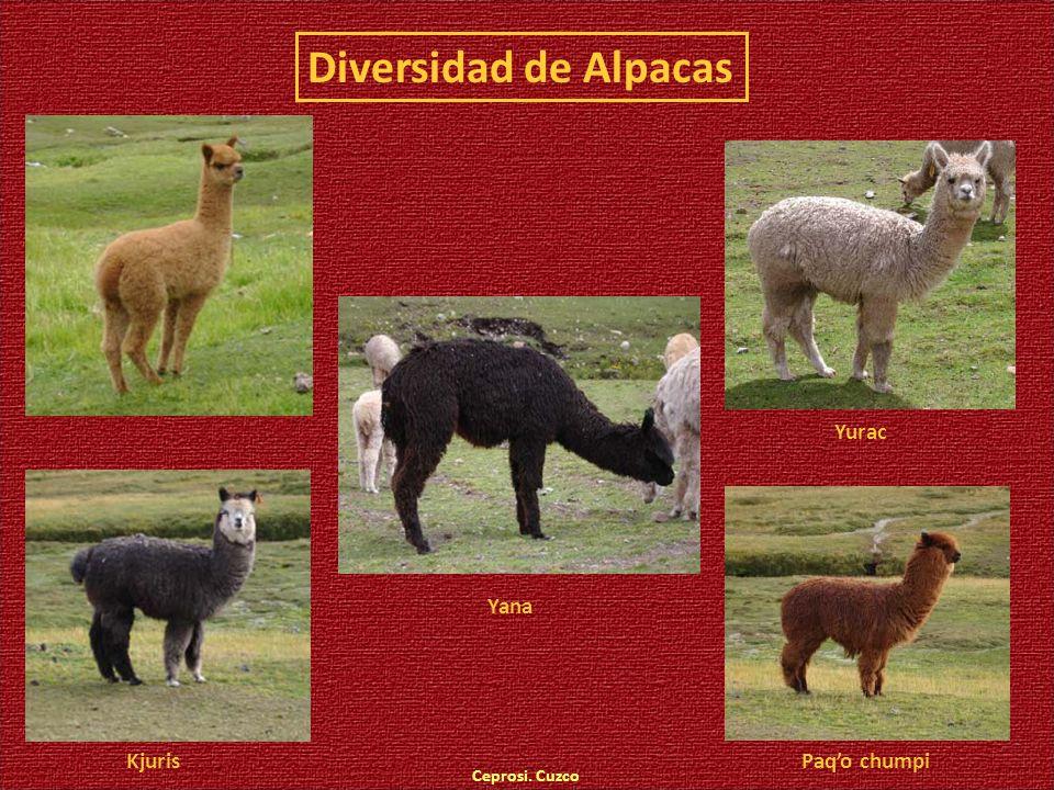 Diversidad de Alpacas Ceprosi. Cuzco Yurac Paqo chumpi Yana Kjuris