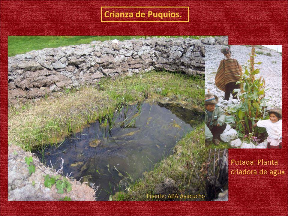 Crianza de Puquios. Fuente: ABA Ayacucho Putaqa: Planta criadora de agu a