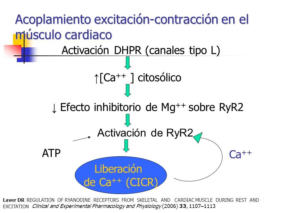 Acoplamiento excitación-contracción en el músculo cardiaco ATP Activación DHPR (canales tipo L) [Ca ++ ] citosólico Efecto inhibitorio de Mg ++ sobre