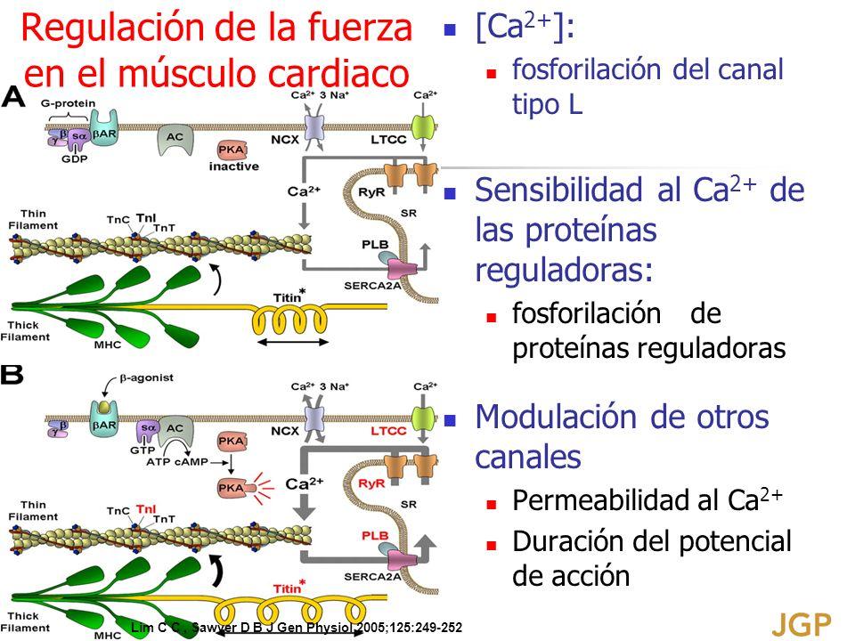 [Ca 2+ ]: fosforilación del canal tipo L Sensibilidad al Ca 2+ de las proteínas reguladoras: fosforilación de proteínas reguladoras Modulación de otro