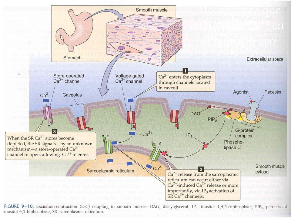 Mecanismos que aumentan Ca +2 en el músculo liso