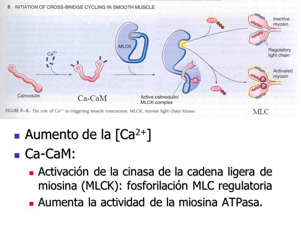 Aumento de la [Ca 2+ ] Aumento de la [Ca 2+ ] Ca-CaM: Ca-CaM: Activación de la cinasa de la cadena ligera de miosina (MLCK): fosforilación MLC regulat