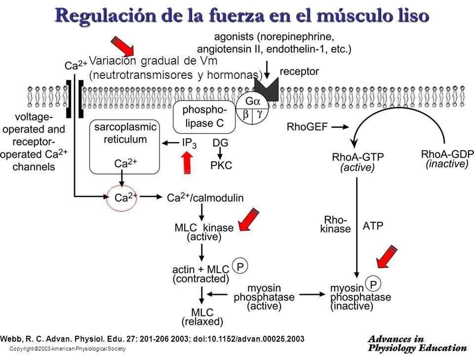 Copyright ©2003 American Physiological Society Webb, R. C. Advan. Physiol. Edu. 27: 201-206 2003; doi:10.1152/advan.00025.2003 Regulación de la fuerza