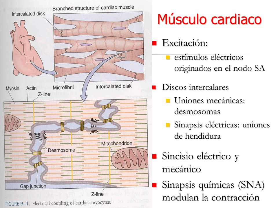 Músculo cardiaco Excitación: Excitación: estímulos eléctricos originados en el nodo SA estímulos eléctricos originados en el nodo SA Discos intercalar