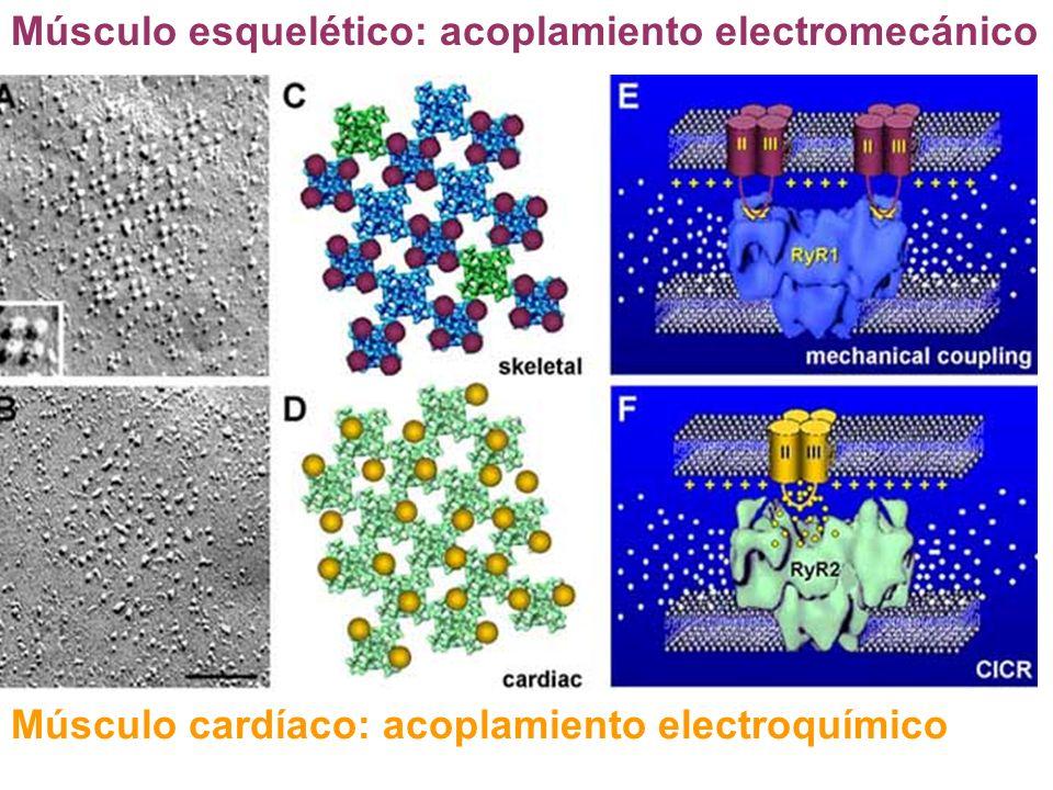 Músculo esquelético: acoplamiento electromecánico Músculo cardíaco: acoplamiento electroquímico