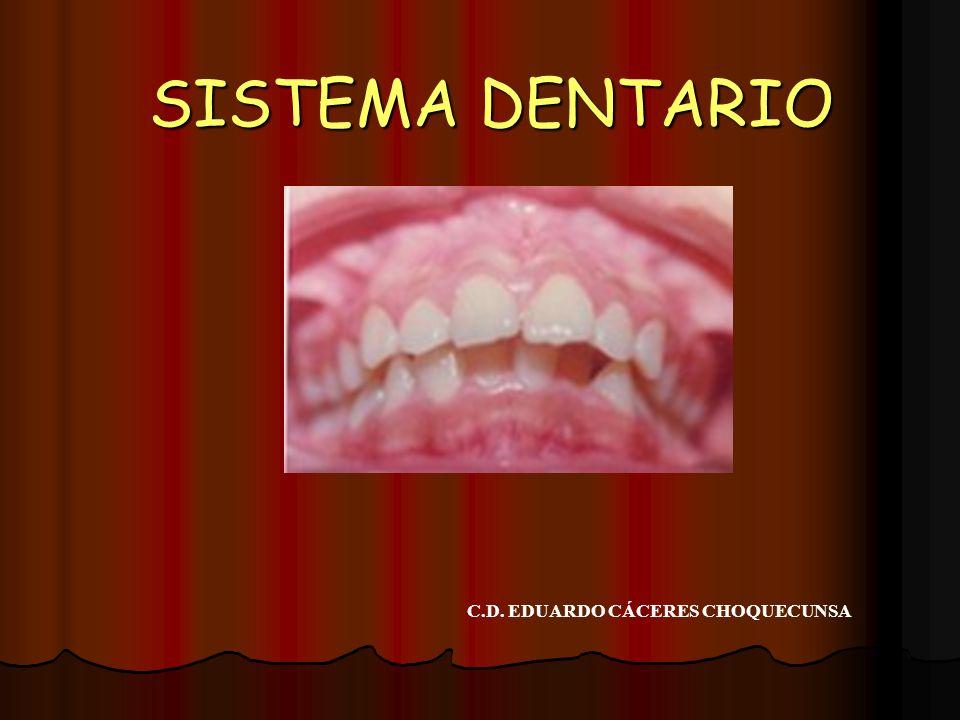 Las caras restantes del prisma se relacionan con las correspondientes de los dientes vecinos y reciben en conjunto la denominación de CARAS PROXIMALES.
