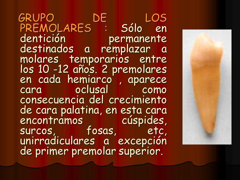 GRUPO DE LOS PREMOLARES : Sólo en dentición permanente destinados a remplazar a molares temporarios entre los 10 -12 años. 2 premolares en cada hemiar