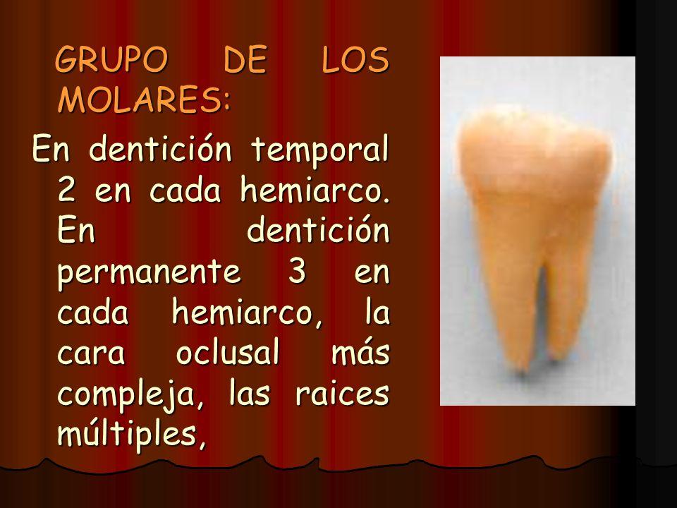 GRUPO DE LOS MOLARES: GRUPO DE LOS MOLARES: En dentición temporal 2 en cada hemiarco. En dentición permanente 3 en cada hemiarco, la cara oclusal más