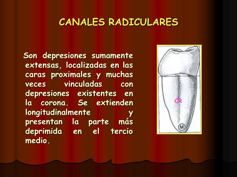CANALES RADICULARES Son depresiones sumamente extensas, localizadas en las caras proximales y muchas veces vinculadas con depresiones existentes en la