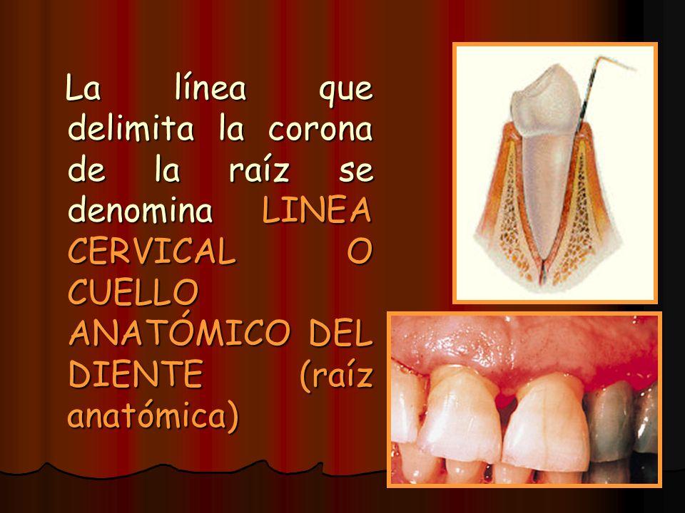 La línea que delimita la corona de la raíz se denomina LINEA CERVICAL O CUELLO ANATÓMICO DEL DIENTE (raíz anatómica) La línea que delimita la corona d