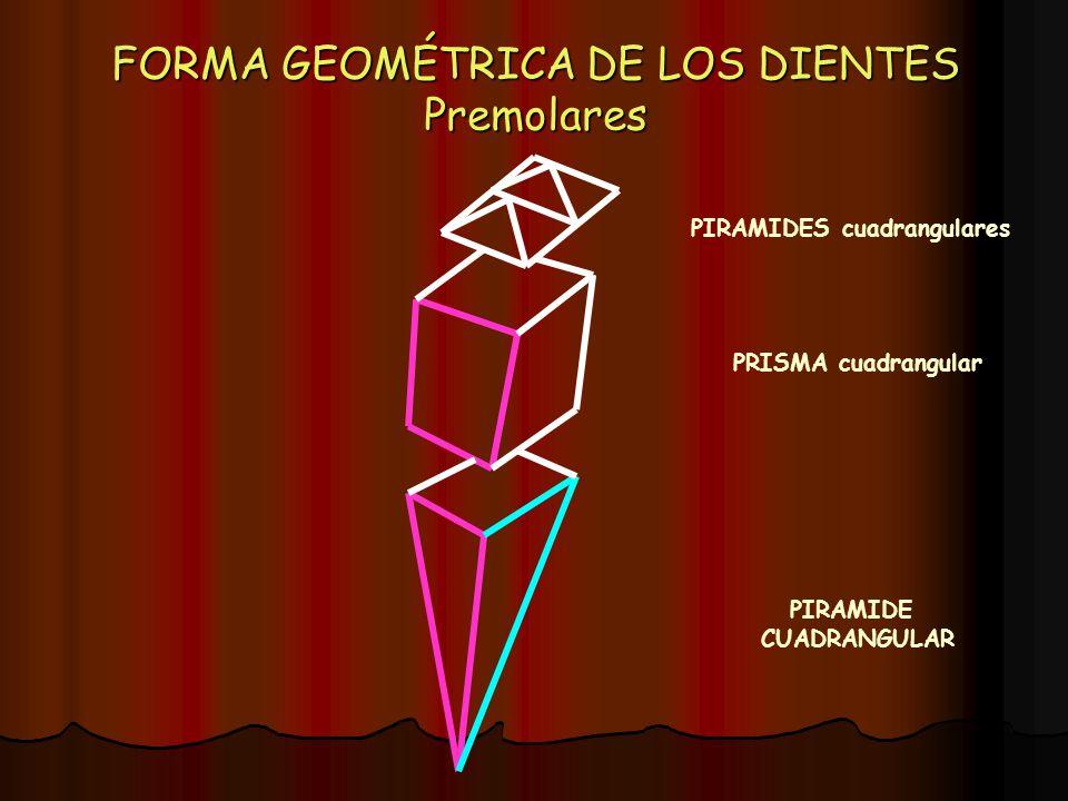 FORMA GEOMÉTRICA DE LOS DIENTES Premolares PIRAMIDE CUADRANGULAR PRISMA cuadrangular PIRAMIDES cuadrangulares