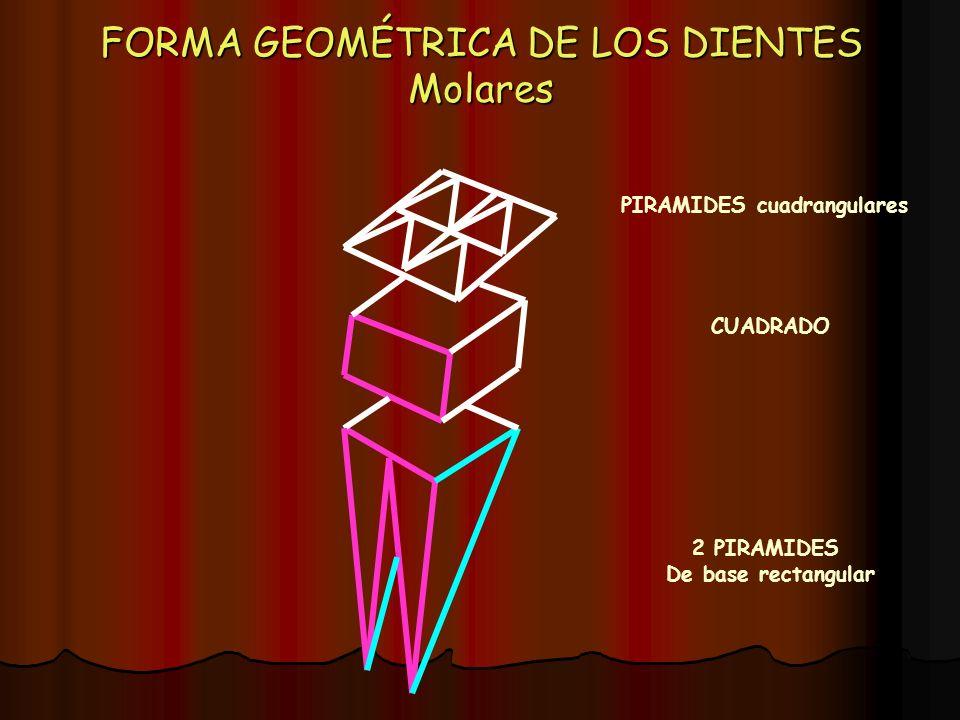 FORMA GEOMÉTRICA DE LOS DIENTES Molares 2 PIRAMIDES De base rectangular CUADRADO PIRAMIDES cuadrangulares