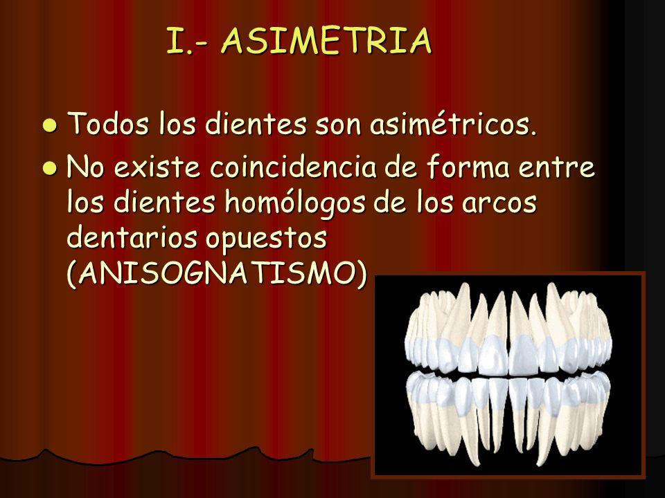 I.- ASIMETRIA Todos los dientes son asimétricos. Todos los dientes son asimétricos. No existe coincidencia de forma entre los dientes homólogos de los