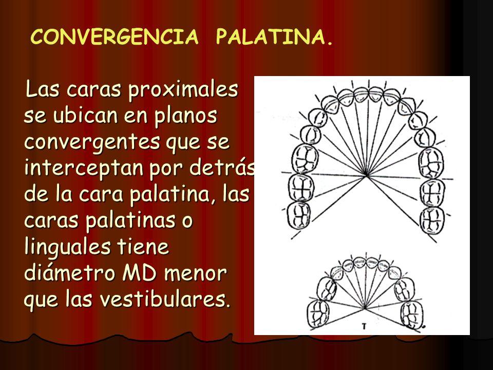 Las caras proximales se ubican en planos convergentes que se interceptan por detrás de la cara palatina, las caras palatinas o linguales tiene diámetr