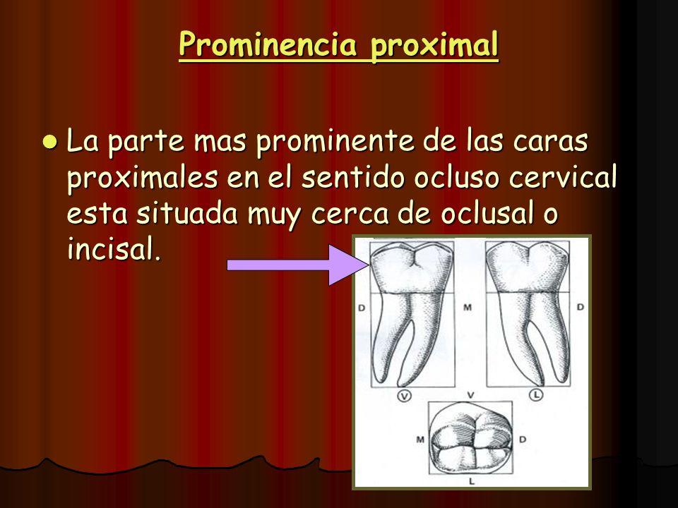 Prominencia proximal La parte mas prominente de las caras proximales en el sentido ocluso cervical esta situada muy cerca de oclusal o incisal. La par