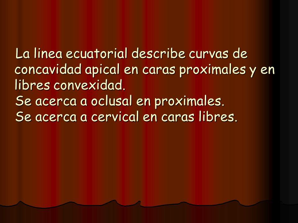La linea ecuatorial describe curvas de concavidad apical en caras proximales y en libres convexidad. La linea ecuatorial describe curvas de concavidad
