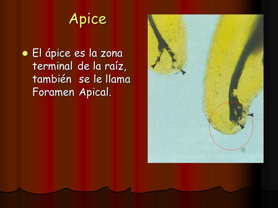 Apice El ápice es la zona terminal de la raíz, también se le llama Foramen Apical. El ápice es la zona terminal de la raíz, también se le llama Forame