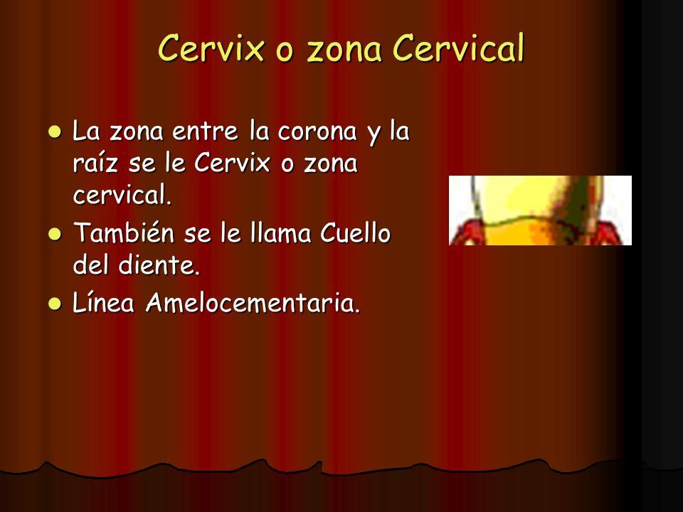 Cervix o zona Cervical La zona entre la corona y la raíz se le Cervix o zona cervical. La zona entre la corona y la raíz se le Cervix o zona cervical.