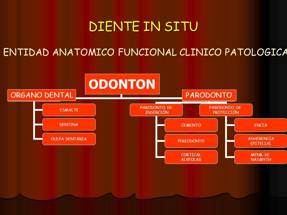 DIENTE IN SITU ORGANO DENTAL ODONTON PARODONTO ENTIDAD ANATOMICO FUNCIONAL CLINICO PATOLOGICA