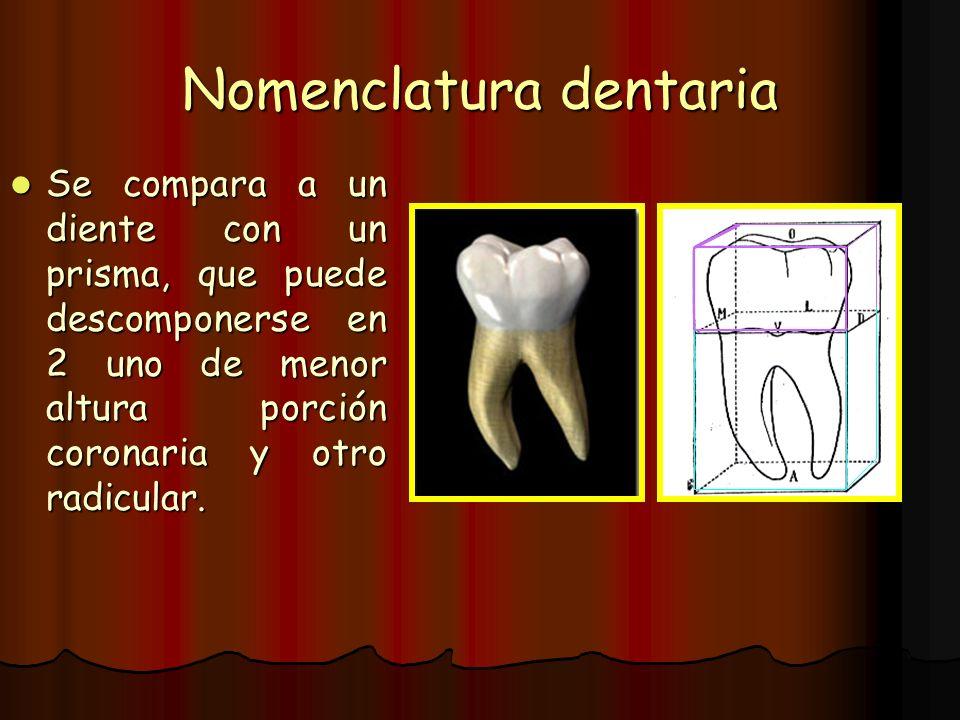 Nomenclatura dentaria Se compara a un diente con un prisma, que puede descomponerse en 2 uno de menor altura porción coronaria y otro radicular. Se co