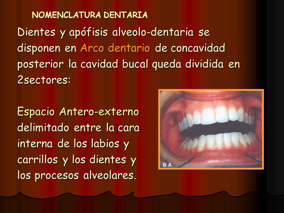 NOMENCLATURA DENTARIA Dientes y apófisis alveolo-dentaria se disponen en Arco dentario de concavidad posterior la cavidad bucal queda dividida en 2sec