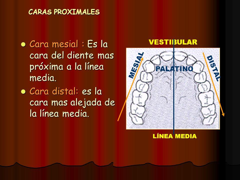 CARAS PROXIMALES Cara mesial : Es la cara del diente mas próxima a la línea media. Cara mesial : Es la cara del diente mas próxima a la línea media. C