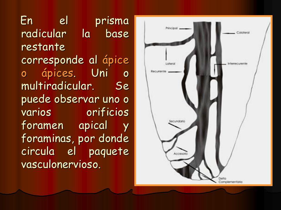 En el prisma radicular la base restante corresponde al ápice o ápices. Uni o multiradicular. Se puede observar uno o varios orificios foramen apical y