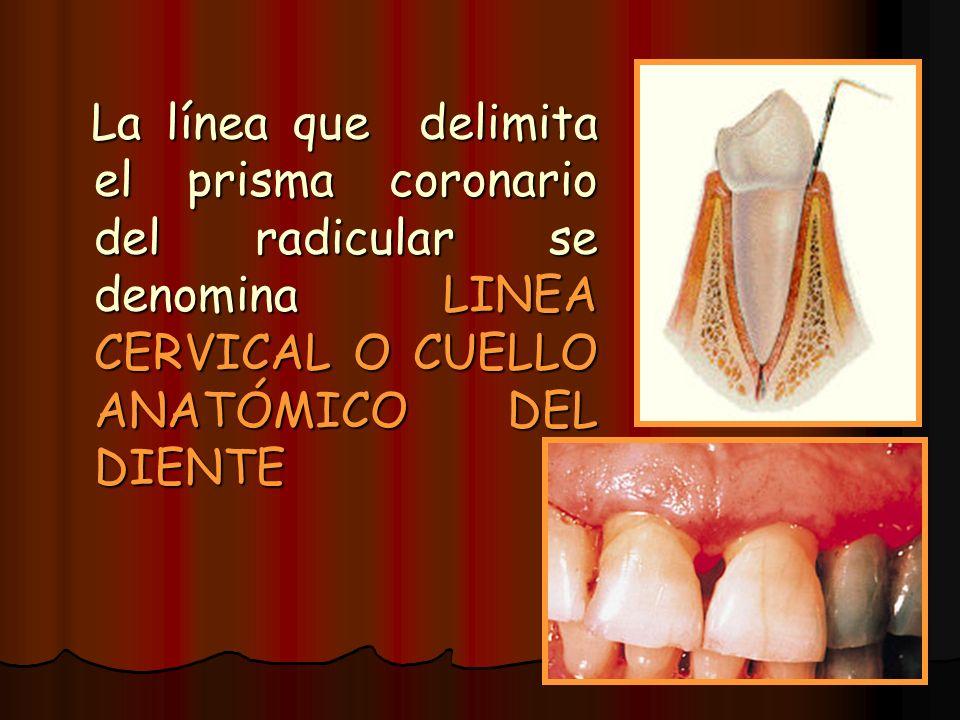 La línea que delimita el prisma coronario del radicular se denomina LINEA CERVICAL O CUELLO ANATÓMICO DEL DIENTE La línea que delimita el prisma coron
