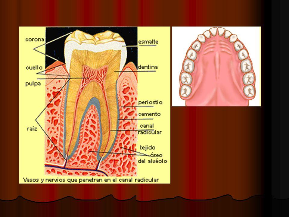 Diente Los dientes los dividimos en dos grandes partes : Los dientes los dividimos en dos grandes partes : Corona : Es la parte del diente que vemos en la cavidad oral en condiciones normales.