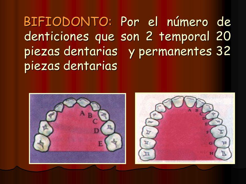 BIFIODONTO: Por el número de denticiones que son 2 temporal 20 piezas dentarias y permanentes 32 piezas dentarias BIFIODONTO: Por el número de dentici