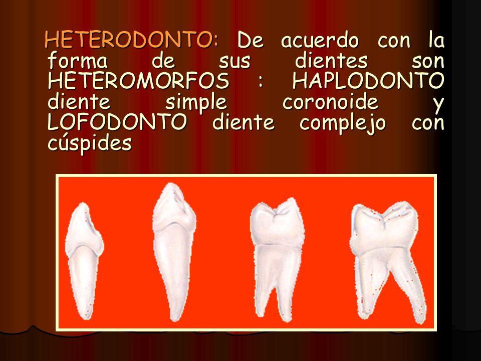 HETERODONTO: De acuerdo con la forma de sus dientes son HETEROMORFOS : HAPLODONTO diente simple coronoide y LOFODONTO diente complejo con cúspides HET