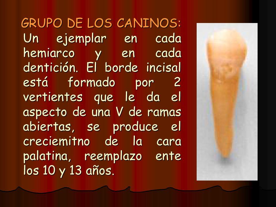 GRUPO DE LOS CANINOS: Un ejemplar en cada hemiarco y en cada dentición. El borde incisal está formado por 2 vertientes que le da el aspecto de una V d