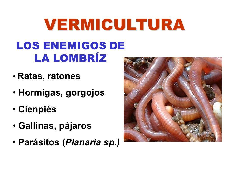 VERMICULTURA LOS ENEMIGOS DE LA LOMBRÍZ Ratas, ratones Hormigas, gorgojos Cienpiés Gallinas, pájaros Parásitos (Planaria sp.)