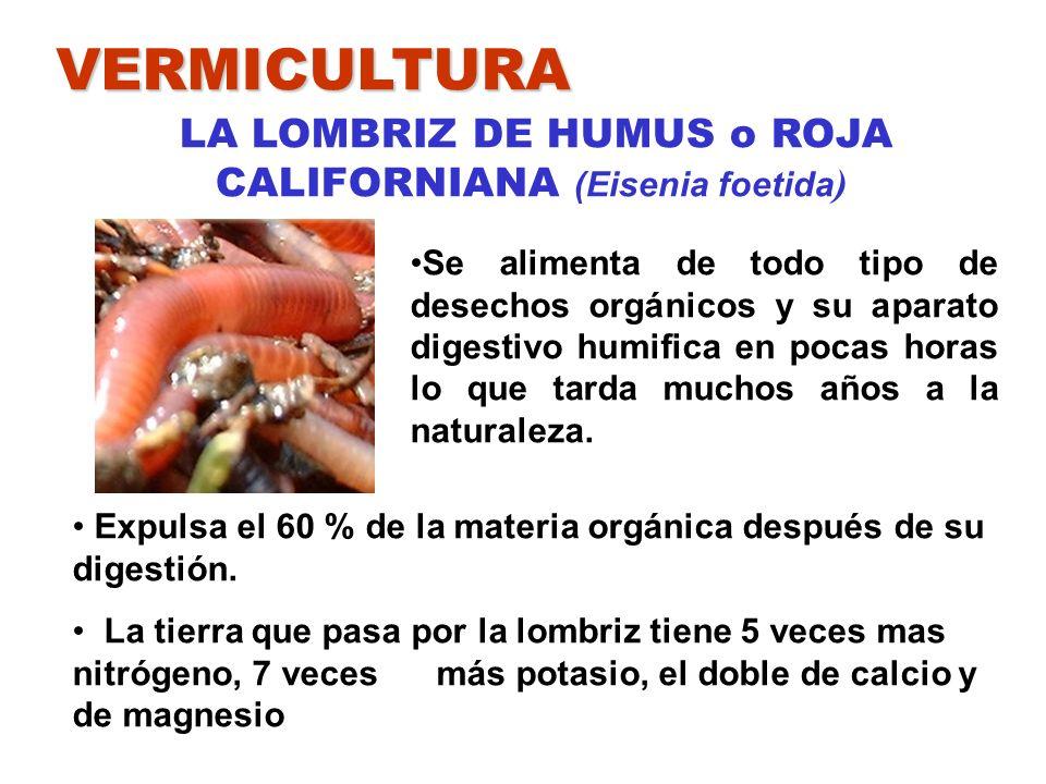VERMICULTURA LA LOMBRIZ DE HUMUS o ROJA CALIFORNIANA (Eisenia foetida ) Expulsa el 60 % de la materia orgánica después de su digestión. La tierra que