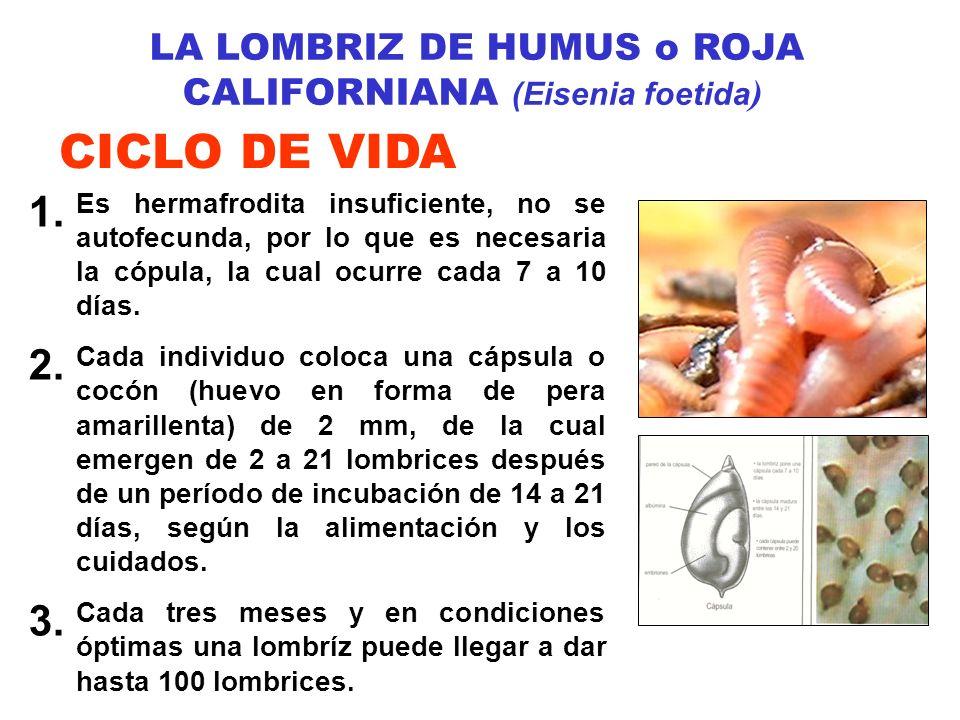 LA LOMBRIZ DE HUMUS o ROJA CALIFORNIANA (Eisenia foetida ) CICLO DE VIDA 1. Es hermafrodita insuficiente, no se autofecunda, por lo que es necesaria l