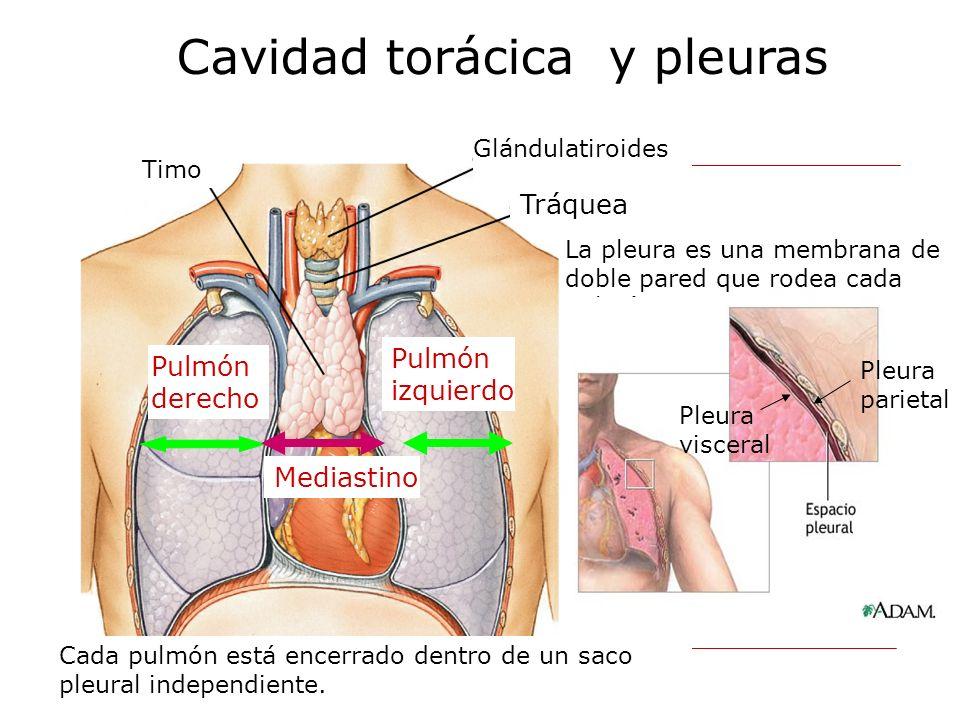 Timo Glándulatiroides Tráquea Cavidad torácica y pleuras Pulmón derecho Pulmón izquierdo Mediastino Cada pulmón está encerrado dentro de un saco pleur