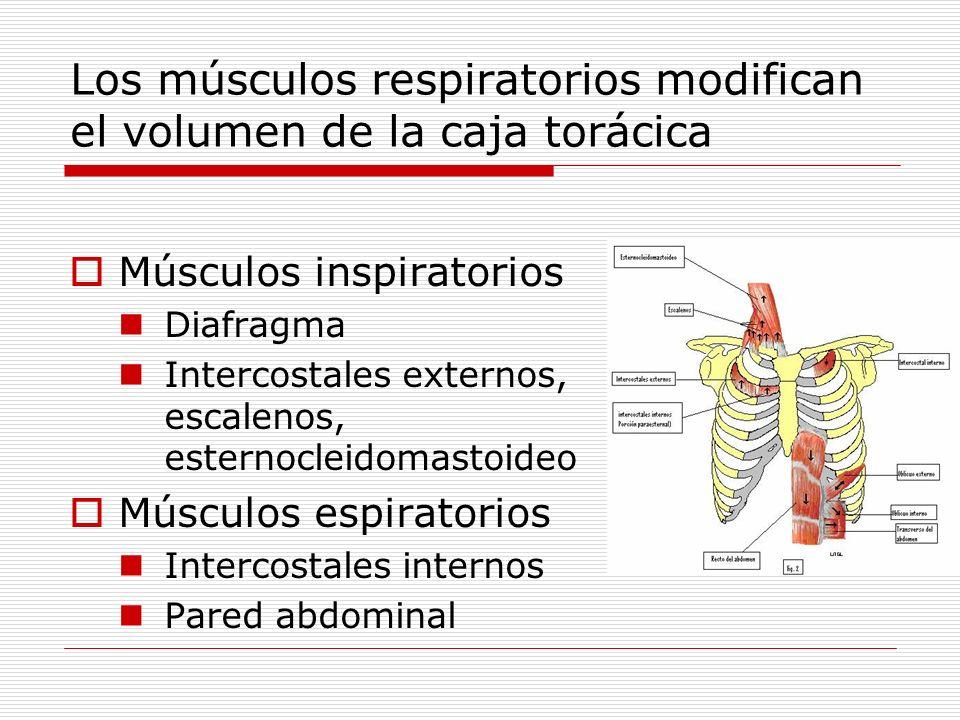 Los músculos respiratorios modifican el volumen de la caja torácica Músculos inspiratorios Diafragma Intercostales externos, escalenos, esternocleidom