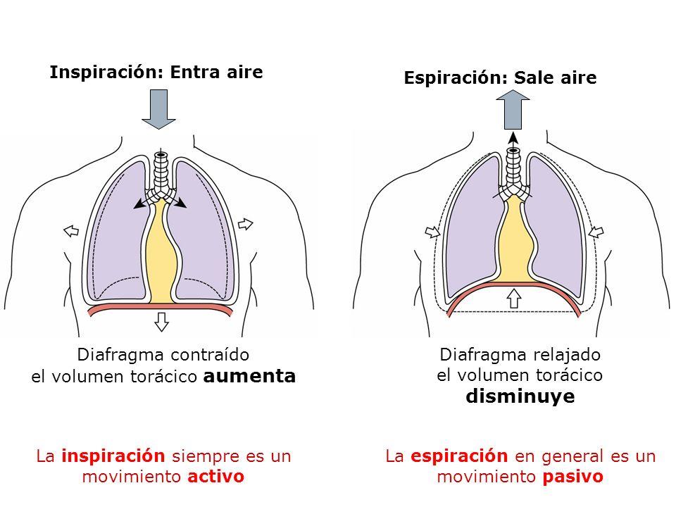 Diafragma contraído el volumen torácico aumenta Inspiración: Entra aire Diafragma relajado el volumen torácico disminuye Espiración: Sale aire La insp
