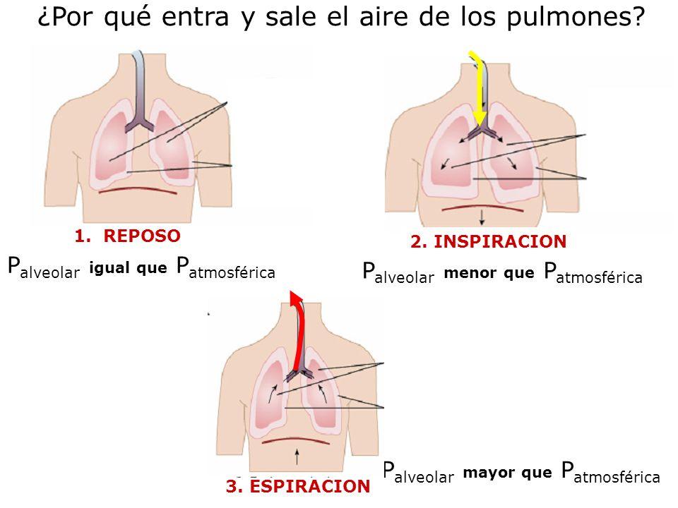 ¿Por qué entra y sale el aire de los pulmones? 3. ESPIRACION P alveolar mayor que P atmosférica P alveolar igual que P atmosférica 1. REPOSO P alveola