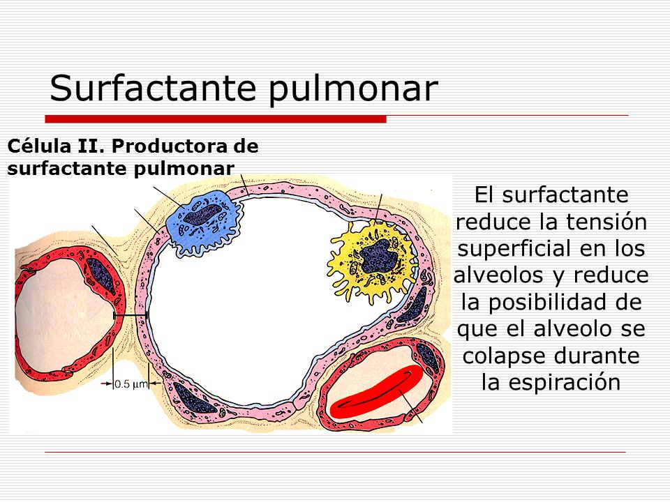 El surfactante reduce la tensión superficial en los alveolos y reduce la posibilidad de que el alveolo se colapse durante la espiración Célula II. Pro