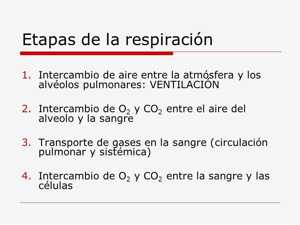 Etapas de la respiración Respiración celular Intercambio de O 2 y CO 2 entre la sangre y los tejidos 4 Transporte de O 2 y CO 2 entre los pulmones y los tejidos 3 Intercambio de O 2 y CO 2 entre el aire del alveolo y la sangre 2 Ventilación: intercambio de aire, entre la atmósfera y los alvéolos pulmonares 1 Alvéolos pulmonares Atmósfera O2O2 CO 2 O2O2 Corazón O2O2 CO 2 O2O2 O 2 + glucosa CO 2 + H 2 O + ATP Célula Circulación sistémica Circulación pulmonar