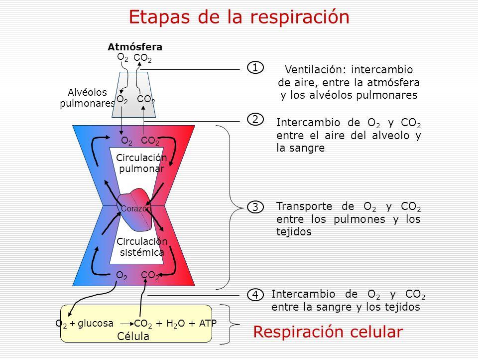 Etapas de la respiración Respiración celular Intercambio de O 2 y CO 2 entre la sangre y los tejidos 4 Transporte de O 2 y CO 2 entre los pulmones y l