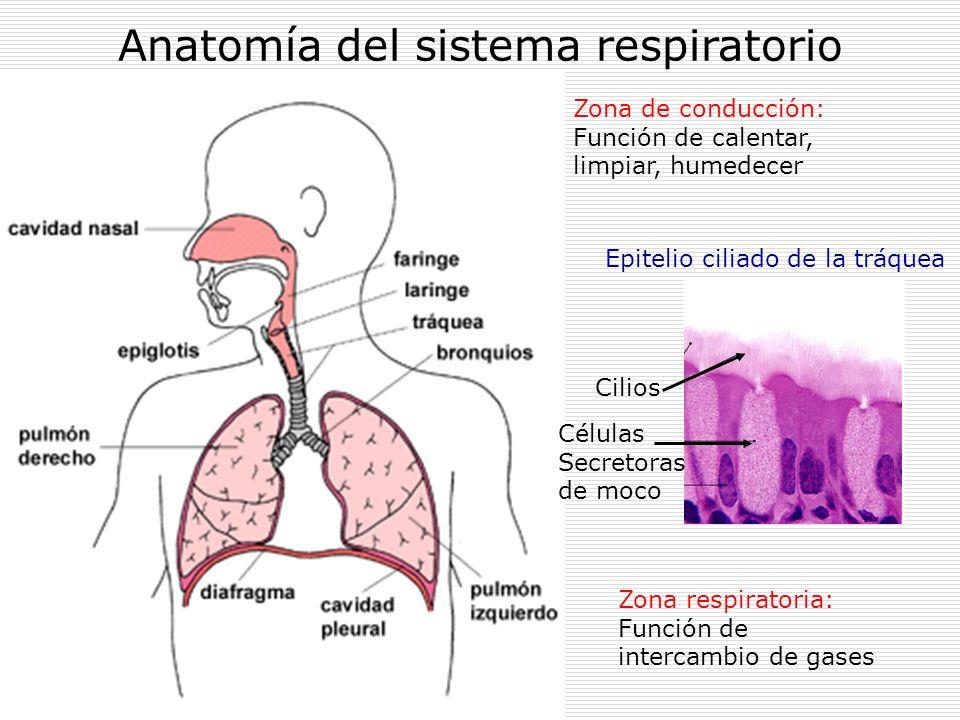 Anatomía del sistema respiratorio Zona de conducción: Función de calentar, limpiar, humedecer Zona respiratoria: Función de intercambio de gases Epite