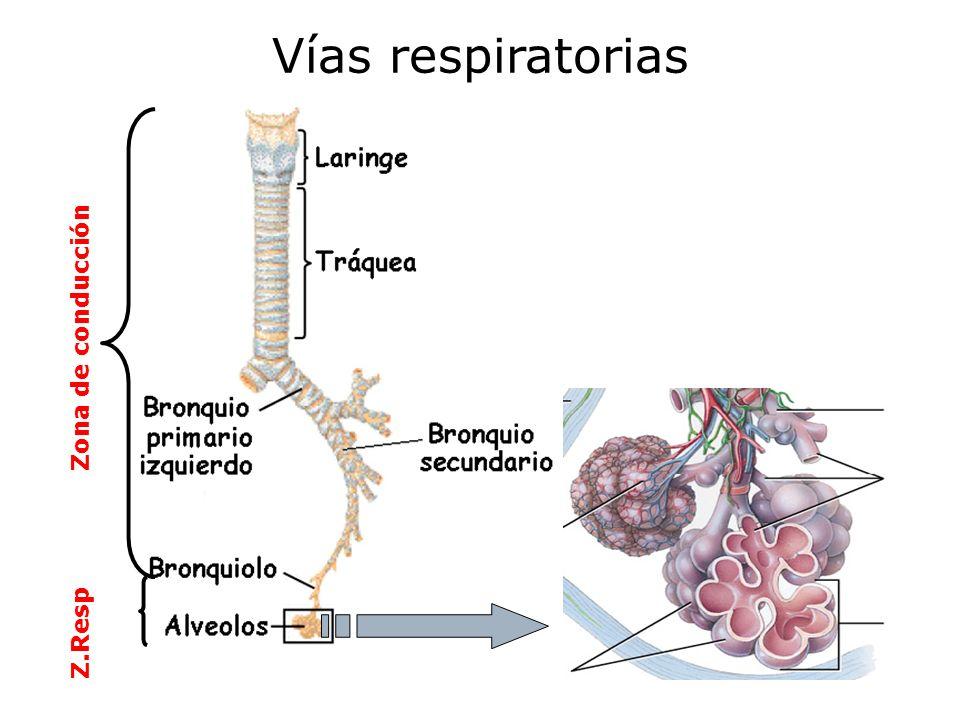 ¿Por qué entra y sale el aire de los pulmones.3.