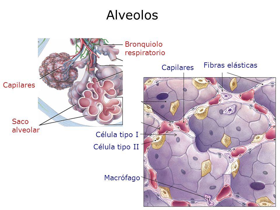 La unidad alveolo-capilar es el lugar donde se efectúa el intercambio de gases: Membrana respiratoria eritrocito Capilar Alvéolo Macrófago Célula alveolar tipo II Célula alveolar tipo I Membrana respiratoria 0.5