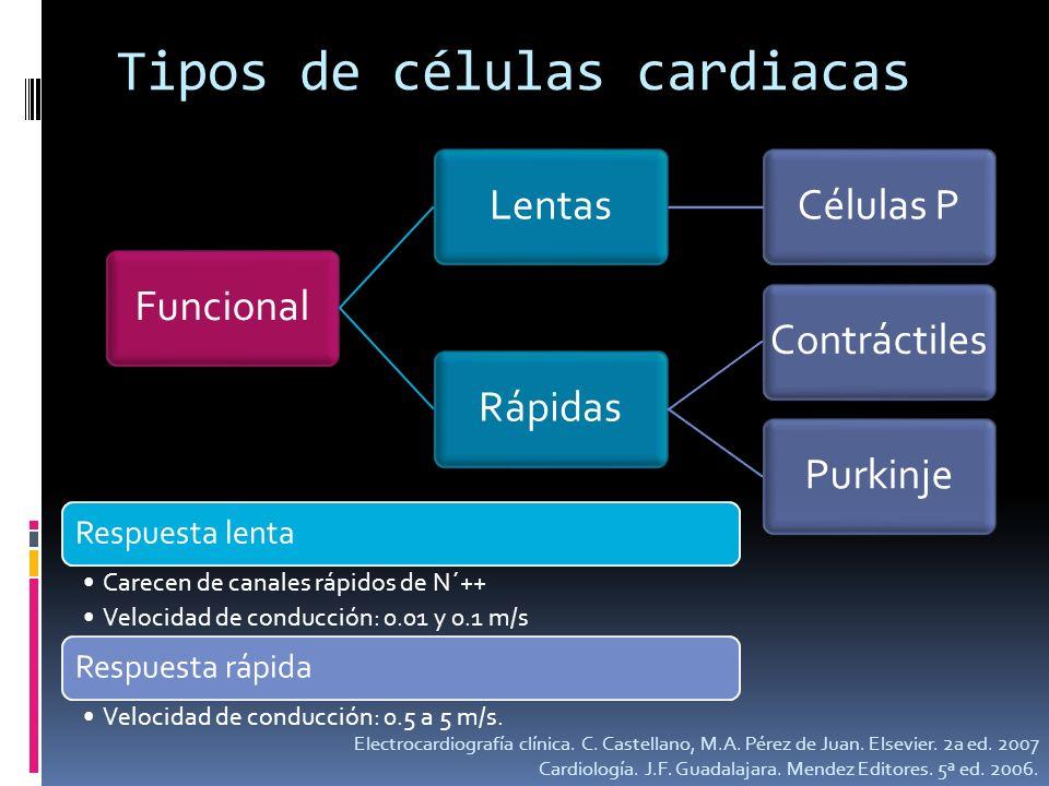 Tipos de células cardiacas FuncionalLentasCélulas PRápidasContráctilesPurkinje Respuesta lenta Carecen de canales rápidos de N´++ Velocidad de conducc