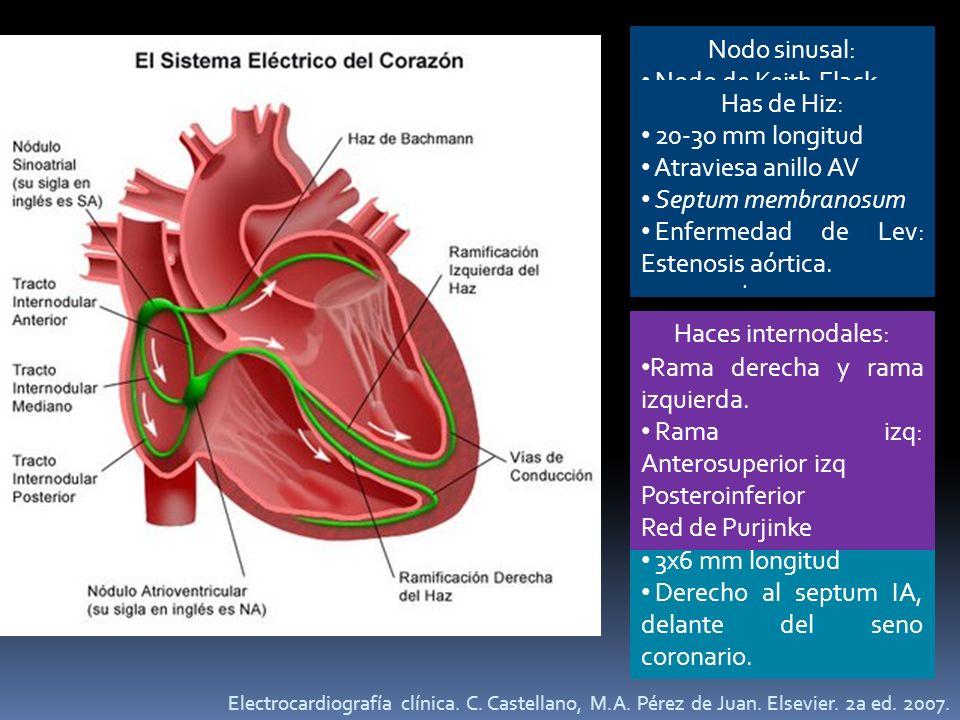 Nodo sinusal: Nodo de Keith Flack Embocadura de la VCS. Acumulación de células en el subendocardio atrial. 15x5mm. 60-100 lpm. Nodo A-V: Aschoff y Taw