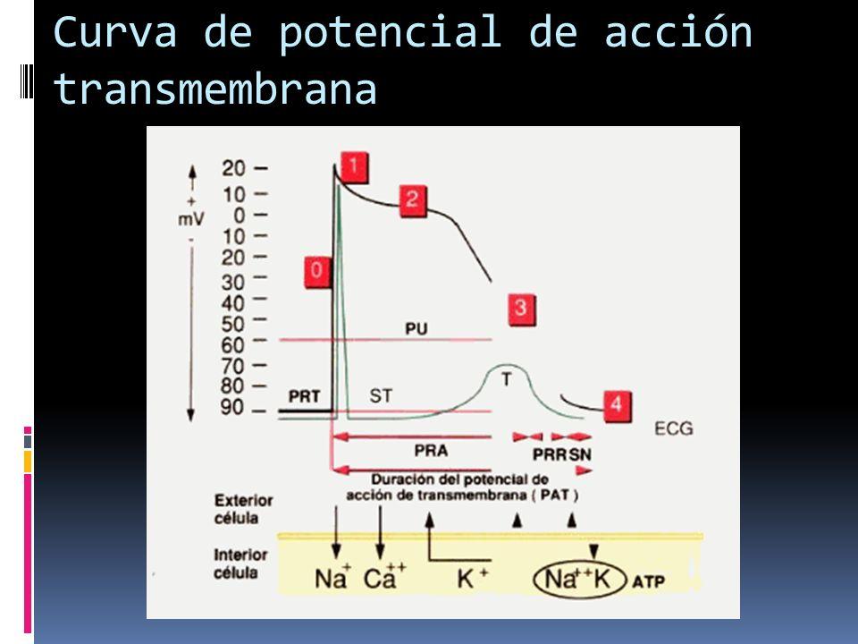 Curva de potencial de acción transmembrana