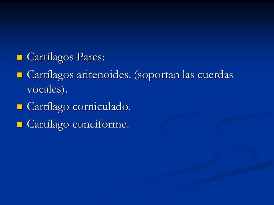 Cartílagos Pares: Cartílagos Pares: Cartílagos aritenoides. (soportan las cuerdas vocales). Cartílagos aritenoides. (soportan las cuerdas vocales). Ca