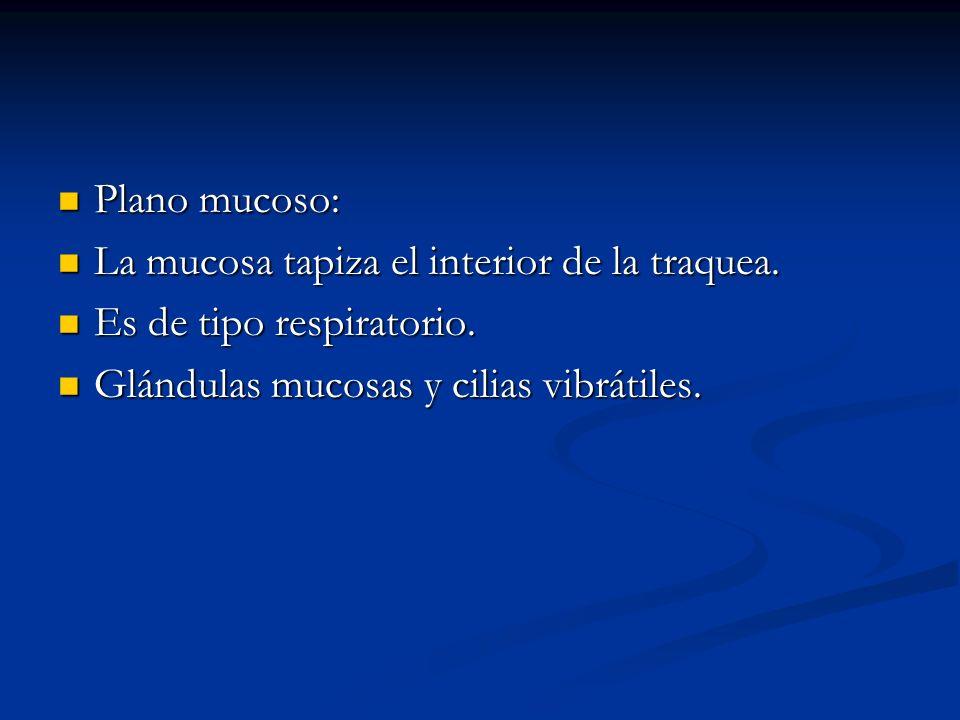 Plano mucoso: Plano mucoso: La mucosa tapiza el interior de la traquea. La mucosa tapiza el interior de la traquea. Es de tipo respiratorio. Es de tip